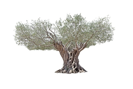 Secular Olive Tree with large and textured trunk isolated on white background   Stock Photo