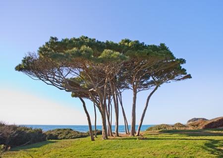 Maritime Pine träd grupp nära havet och stranden Baratti Piombino, Toscana, Italien