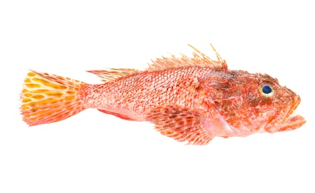 scrofa: Red Scorpionfish prepared seafood  Raw food isolated on white background  As known as Scorpaena Scrofa