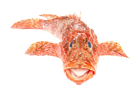 scorpionfish: Red Scorpionfish prepared seafood front view  Raw food isolated on white background  As known as Scorpaena Scrofa  Stock Photo