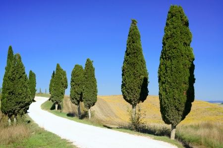 cypress tree: Cypress Trees rows and a white road rural landscape in Crete Senesi land near Siena, Tuscany, Italy, Europe