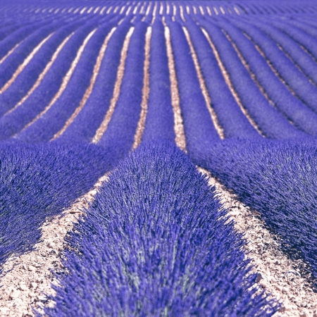 Lavender flower blooming fields in endless rows as a pattern or texture  Landscape in Valensole plateau, Provence, France, Europe  photo