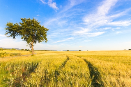 filed: A wheat filed with two curve tracks and a tree in a spring day  On the horizon a natural clear sky  Tuscany, Italy