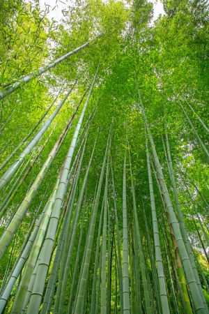 bamboo forest: Bamboo Sugar Cane forest view and bright sunlight