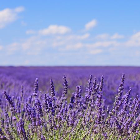 fiori di lavanda: Fiori di lavanda in fiore profumati campi in file interminabili e un paesaggio blu cielo nube in Valensole plateau, Provenza, Francia, Europa Archivio Fotografico
