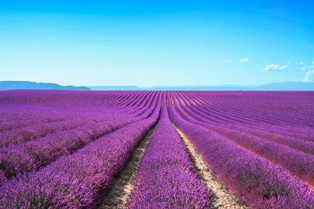 Lavendel blomma blommar doftande fält i oändliga rader Valensole platån, Provence, Frankrike, Europa Stockfoto