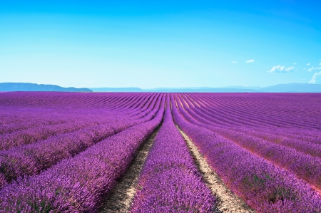 Lavender flower blooming scented fields in endless rows  Valensole plateau, provence, france, europe