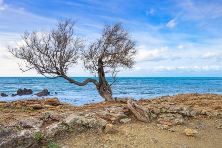 aslant: Tamarisk or salt cedar or tamarix curved tree on rock beach and blue ocean on background  Stock Photo