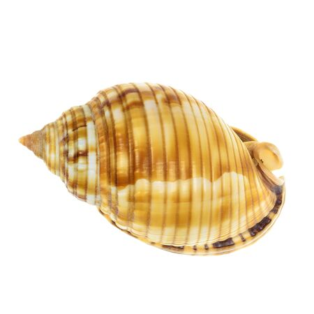 Sea Wild Mollusk Shell isolated on white background photo