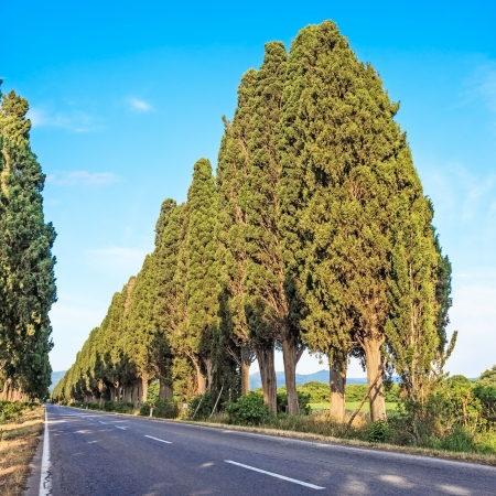 poem: Bolgheri famous cypresses trees boulevard landscape  Maremma landmark, Tuscany, Italy, Europe  This boulevard is famous for Carducci poem  Stock Photo