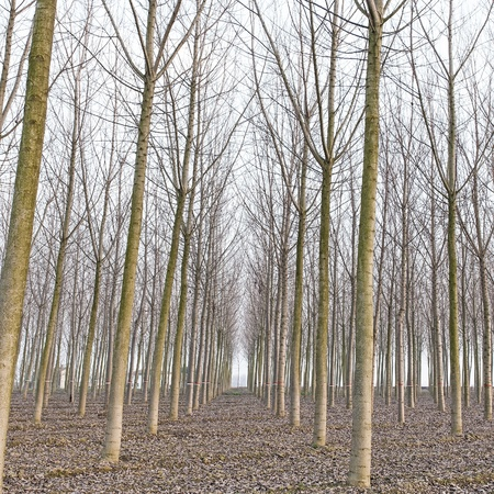 Poplar tree forest in winter  Emilia, Italy Stock Photo - 17811072