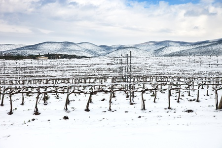 chianti: Vineyards rows covered by snow in winter  Chianti countryside, Florence, Tuscany region, Italy