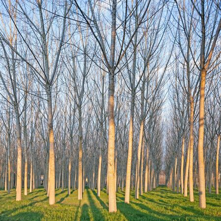 Poplar tree forest in winter  Emilia, Italy photo