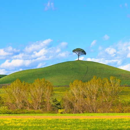 Yellow flowers and green field, lonely pine tree and a blue sky on background  Spring season in Tuscany, classic italian landscape  Crete Senesi, Siena, Italy  photo