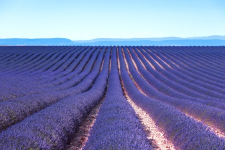 Lavender flower blooming scented fields in endless rows  Valensole plateau, provence, france, europe  photo