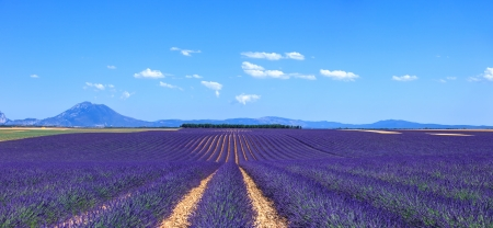 plateau of flowers: Lavender flower blooming fields in endless rows and trees on background Stock Photo