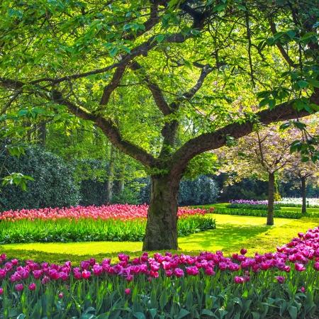 Rode tulp tuin of veld in het voorjaar achtergrond, patroon of textuur