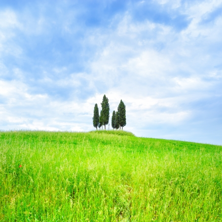Cypress group and rolling field rural landscape in Orcia valley, San Quirico, Siena, Tuscany  Italy photo