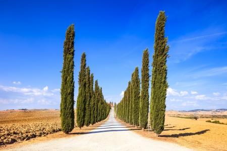 Cypress Trees rows and a white road rural landscape in val d Orcia land near Siena, Tuscany, Italy, Europe  photo