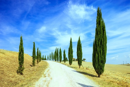 val d orcia: Cypress Trees rows and a white road rural landscape in val d Orcia land near Siena, Tuscany, Italy, Europe