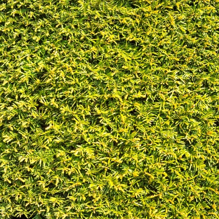 Hedge green leaves similar grass texture background or pattern wall photo