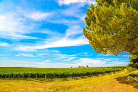Chianti region, vineyard, pine tree and farm  Tuscany, Italy, Europe  photo