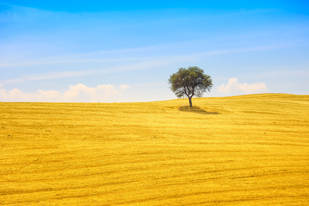 montalcino: Tuscany country landscape, olive tree and green fields  Montalcino, Italy, Europe
