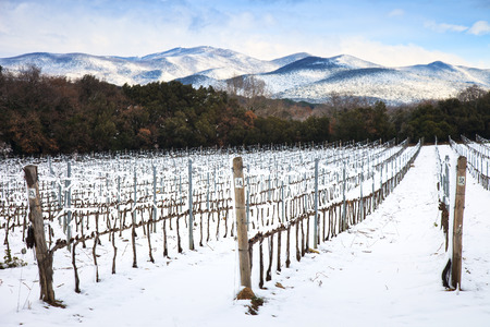 Vineyards rows covered by snow in winter  Chianti countryside, Florence, Tuscany region, Italy photo