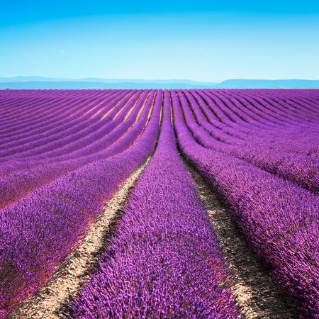 라벤더 꽃 피는 끝없는 행의 향기 필드 Valensole 고원, 프로방스, 프랑스, 유럽