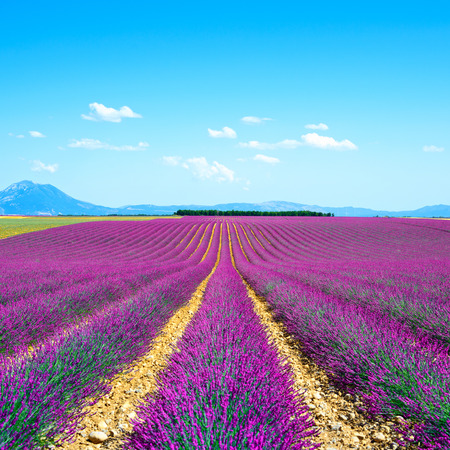 plateau of flowers: Lavender flower blooming scented fields in endless rows and trees on backgrond  Valensole plateau, provence, france, europe