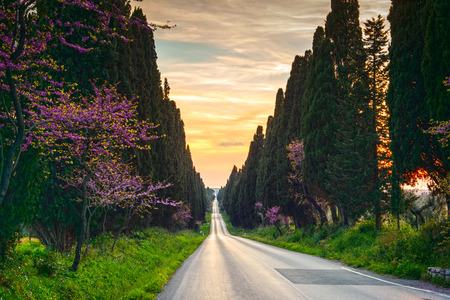 Bolgheri famous cypresses trees straight boulevard landscape. Maremma landmark, Tuscany, Italy, Europe. This boulevard is famous for Carducci poem.