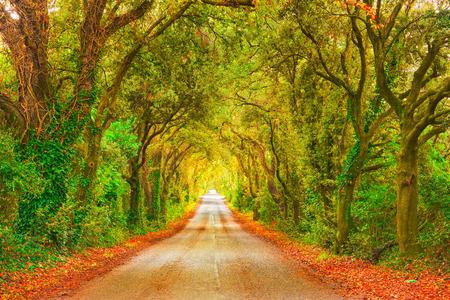tree in autumn: Autumn or fall, trees tunnel road on sunset. Maremma, Tuscany, Italy Europe. Stock Photo