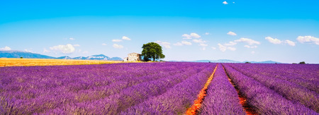 Lavender flowers blooming field wheat house and lonely tree. Panoramic view. Plateau de Valensole Provence France Europe. Archivio Fotografico
