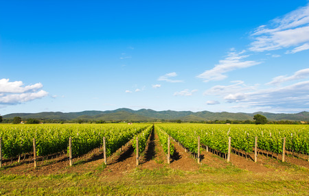Bolgheri vineyard and hills on background. Maremma Tuscany Italy Europe.