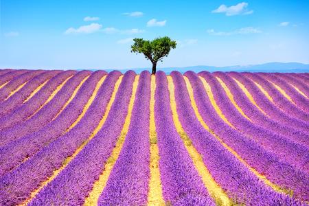 필드와 외로운 나무 오르막 피는 라벤더 꽃. Valensole, 프로방스, 프랑스, 유럽.