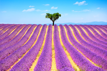plateau of flowers: Lavender flowers blooming field and a lonely tree uphill. Valensole, Provence, France, Europe.