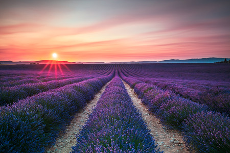 Lavender flower blooming scented fields in endless rows on sunset. Valensole plateau, Provence, France, Europe. Standard-Bild