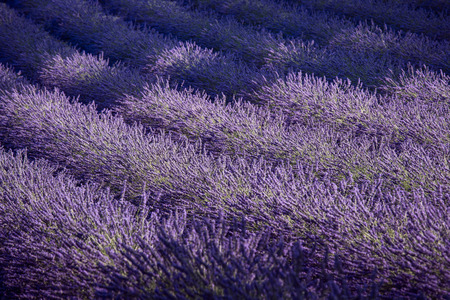 flower fields: Lavender field and ray of light. Provence, France Europe