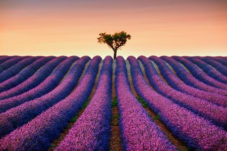 fiori di lavanda: Fiori di lavanda campo e un albero solitario in salita sul tramonto in fiore. Valensole, Provenza, Francia, Europa. Archivio Fotografico