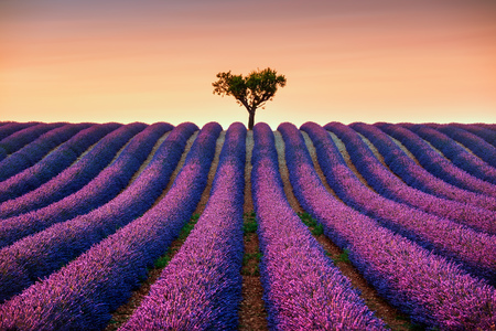 to field: Lavender flowers blooming field and a lonely tree uphill on sunset. Valensole, Provence, France, Europe.