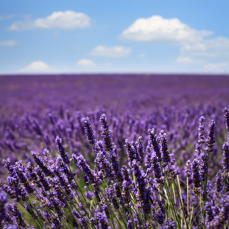 flower fields: Lavender flower blooming scented fields in endless rows and a blue cloud sky. Landscape in Valensole plateau, Provence, France, Europe.