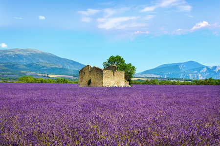 plateau of flowers: Lavender flowers blooming field, wheat, old house and lonely tree. Panoramic view. Plateau de Valensole, Provence, France, Europe.