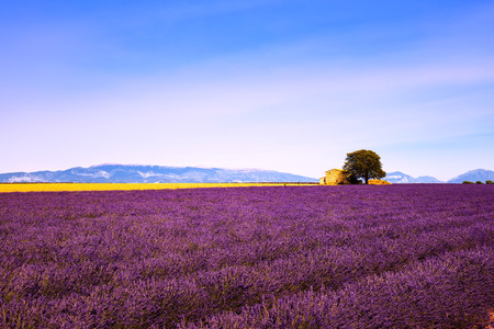 plateau of flowers: Lavender flowers blooming field, wheat, house and lonely tree. Panoramic view. Plateau de Valensole, Provence, France, Europe. Stock Photo