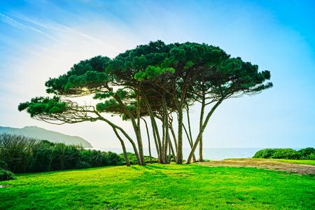 arbol de pino: Marítimo grupo Árbol de pino cerca del mar y de la playa en la puesta del sol. Baratti, Maremma, Piombino, Toscana, Italia. Foto de archivo