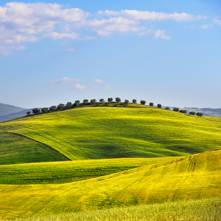 sky and grass: Wheat Field and olive trees uphill in summer. Tuscany, Italy Stock Photo