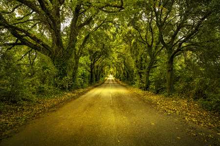 tunnel view: Autumn or fall, trees tunnel road on sunset. Maremma, Tuscany, Italy Europe. Stock Photo