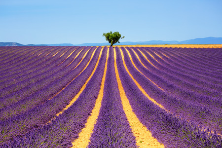 france perfume: Lavender flowers blooming field and a lonely tree uphill. Valensole, Provence, France, Europe.