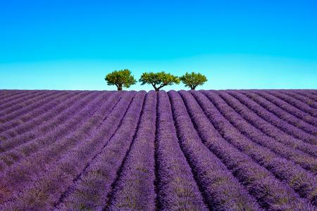 lavanda: Flores de lavanda campo en flor y un �rboles cuesta arriba. Valensole, Provence, Francia, Europa.