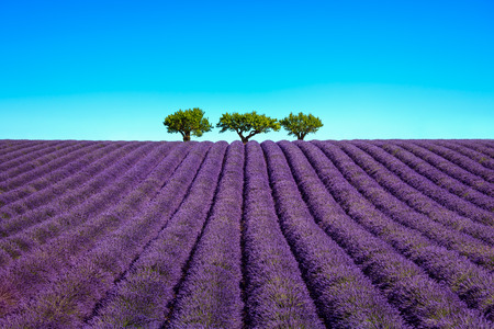 Lavender flowers blooming field and a trees uphill. Valensole, Provence, France, Europe. Standard-Bild
