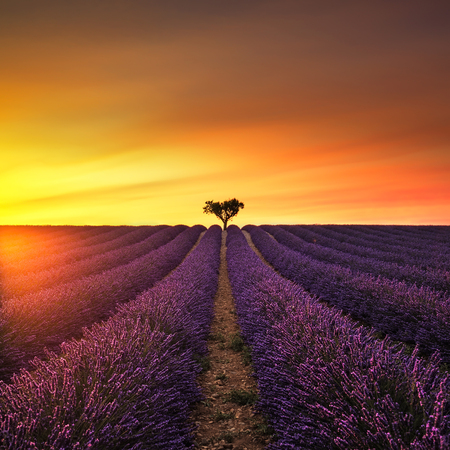 plateau of flowers: Lavender flowers blooming field and a lonely tree uphill on sunset. Valensole, Provence, France, Europe.
